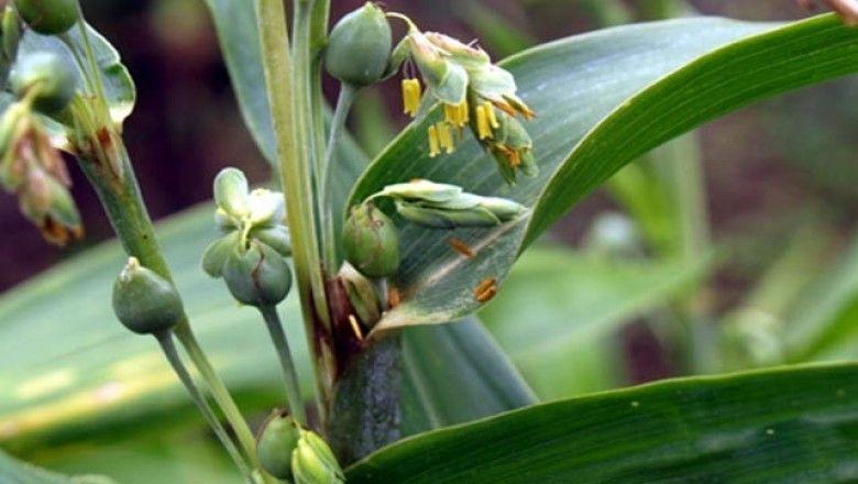 Cây dược liệu cây Ý dĩ - Coix lachrymajobi L