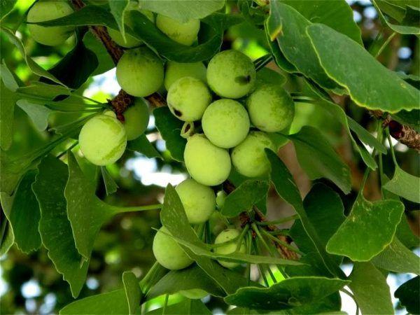 Ginkgo biloba ( cây bạch quả) là cây gì? công dụng ra sao?
