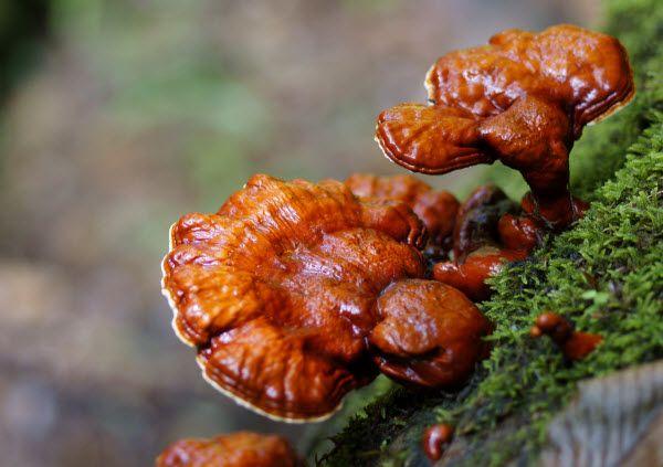 Công dụng Nấm Linh Chi Ganoderma lucidum Nhật Bản