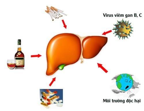 Bảo vệ gan, tăng cường chức năng gan mật, giảm cholesteron trong máu.