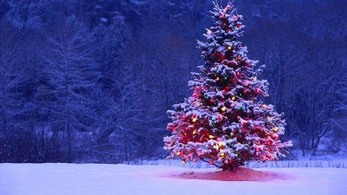 Cây thông lễ Giáng sinh